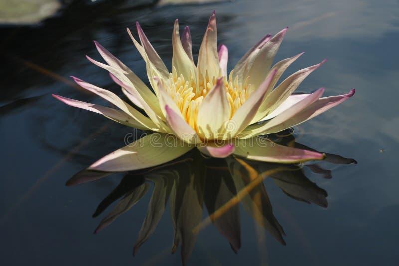 Lotus blanc avec la réflexion photographie stock