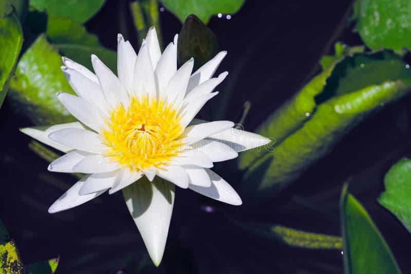 Lotus blanc avec le pollen jaune sur la fleur dans l'étang de lotus pendant le jour ensoleillé d'été image libre de droits