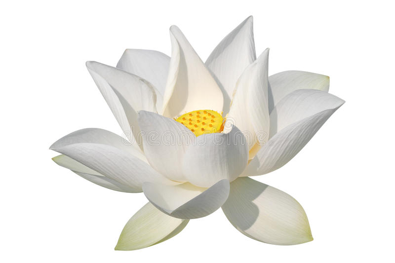 Lotus blanc, d'isolement, chemin de découpage compris photos stock