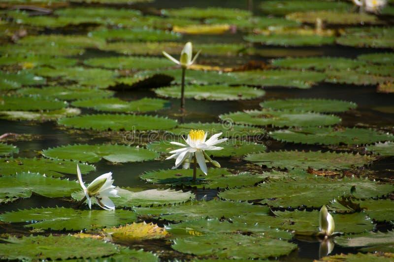 Lotus blanc de floraison, fleur de lis dans un étang images libres de droits