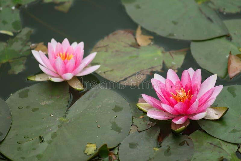 Lotus blanc et garnitures de lis photographie stock libre de droits