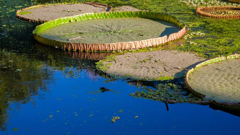 Lotus-Blatt auf Wasseroberfläche lizenzfreie stockfotos