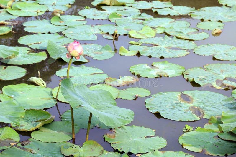 Lotus, Lotus-Blattauflagengrün auf Wassernatur, Lotus-Auflage im Teichgartenbauernhof, Lotus-Auflage auf dem Oberflächenwasser stockbild