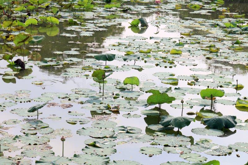 Lotus, Lotus-Blattauflagengrün auf Wassernatur, Lotus-Auflage im Teichgartenbauernhof, Lotus-Auflage auf dem Oberflächenwasser lizenzfreie stockfotos