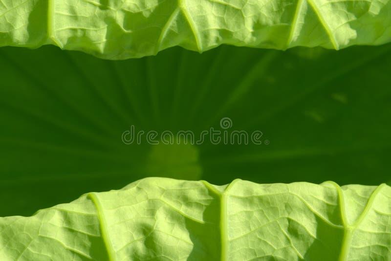 Lotus-Blattbeschaffenheit lizenzfreie stockbilder