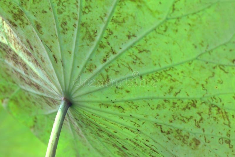 Lotus-Blattgrünnatur, Gesichtspunkt unter dem selektiven Fokus der Blätter stockfoto
