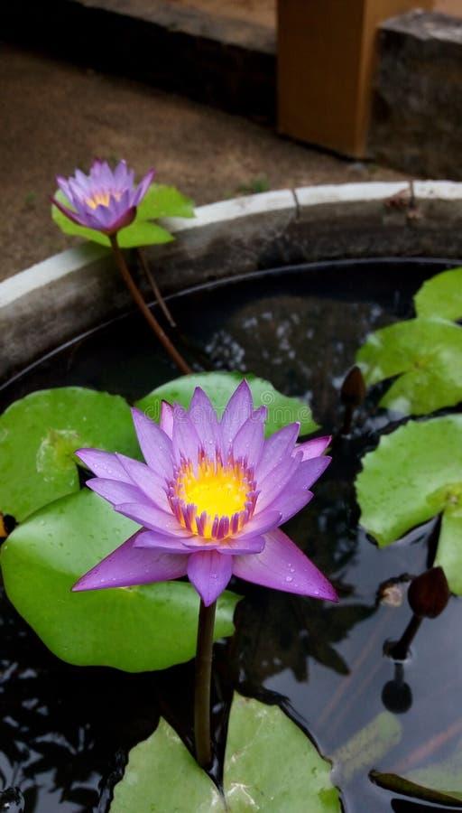 Lotus bleu photographie stock