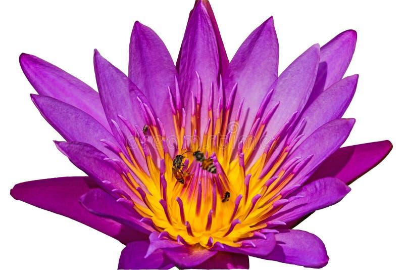Lotus bleu en gros plan et abeille sur l'étang image stock