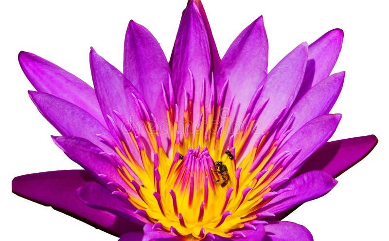 Lotus bleu en gros plan et abeille sur le blanc image libre de droits