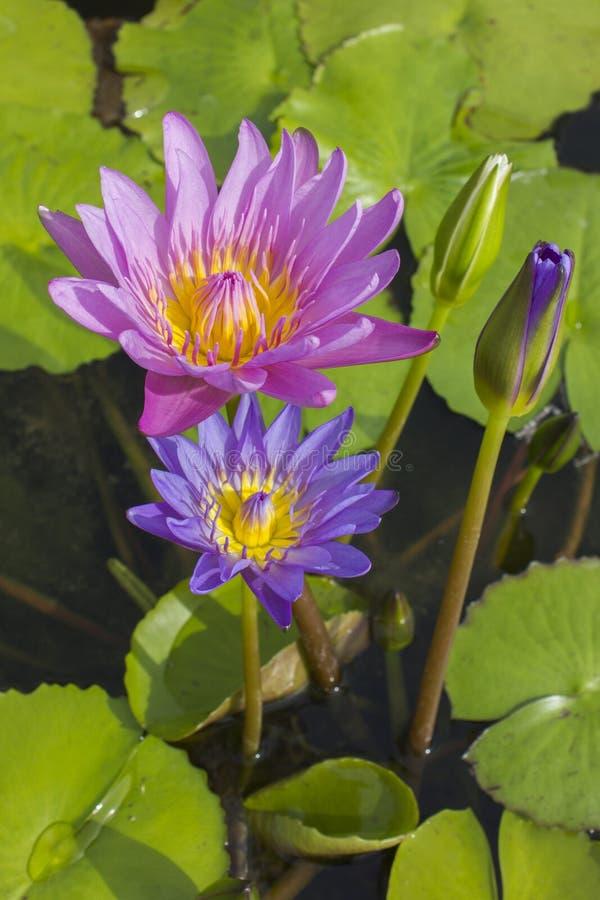 Lotus bleu et rose élégant de fleur de lis dans l'eau image libre de droits