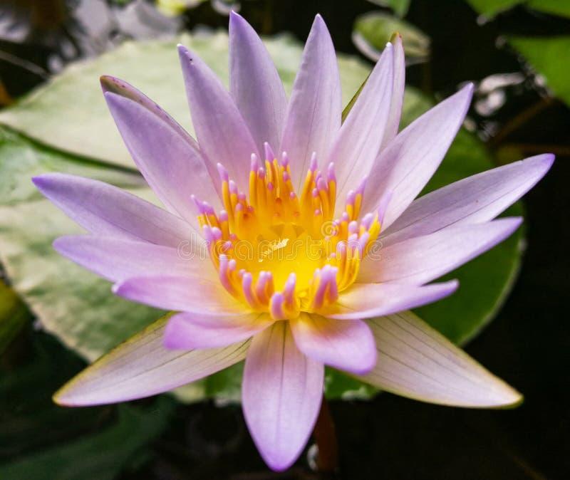 Lotus-bloei stock afbeelding