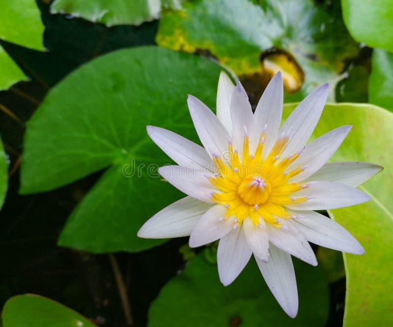 Lotus-bloei stock afbeeldingen