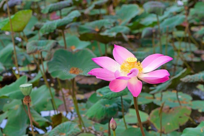 Lotus-bloem stock foto
