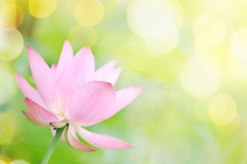 Lotus-bloem stock afbeeldingen