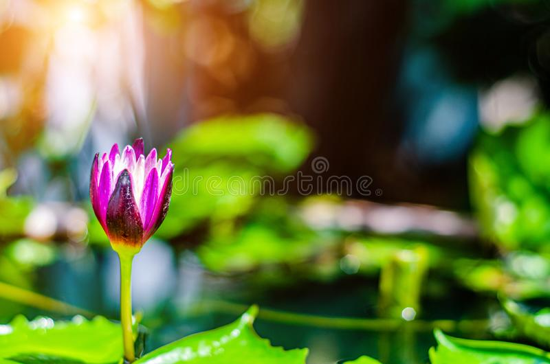 Lotus-bloem in de ochtendpool royalty-vrije stock fotografie
