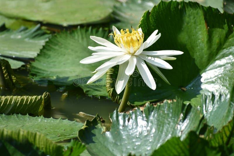 Lotus-bloem in de pool stock foto