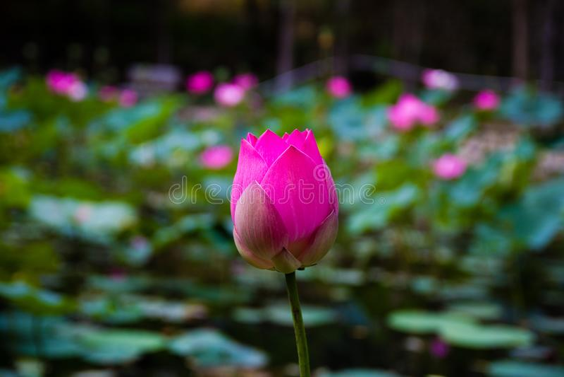 Lotus-bloem in de vijver royalty-vrije stock foto's