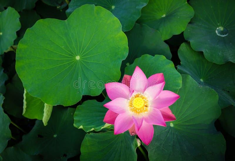 Lotus-bloem die in de zomertijd bloeien royalty-vrije stock afbeelding