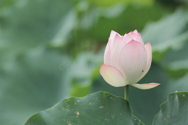 Lotus-bloem en Lotus-bloeminstallaties stock fotografie