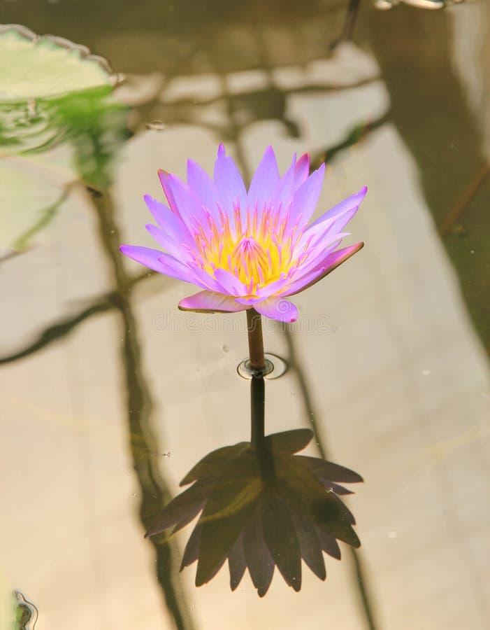 Lotus-bloem en Lotus-bloeminstallaties stock afbeeldingen