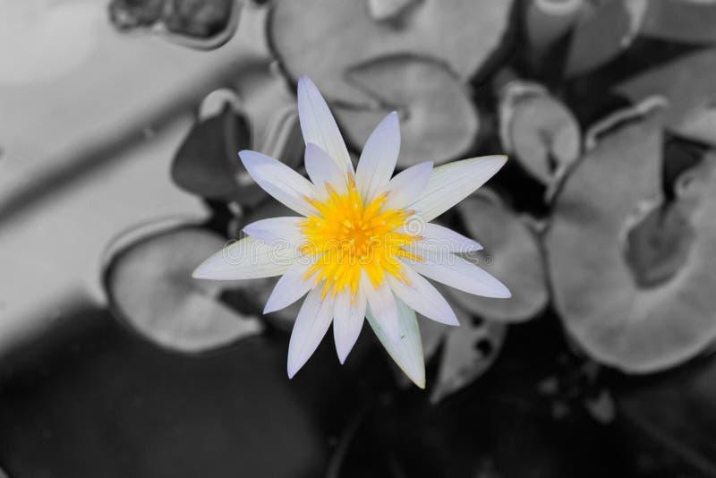 Lotus-bloem en Lotus-bloeminstallaties royalty-vrije stock foto's