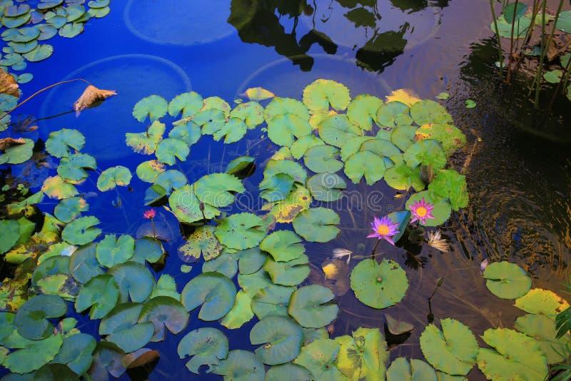 Lotus-bloem in het lagune en bezinningszonlicht royalty-vrije stock afbeelding