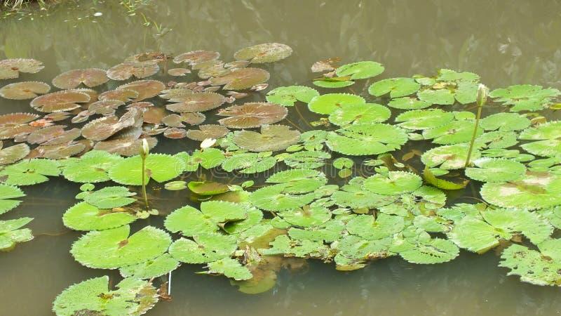 Lotus-bloem, het Westen Java Indonesia stock foto