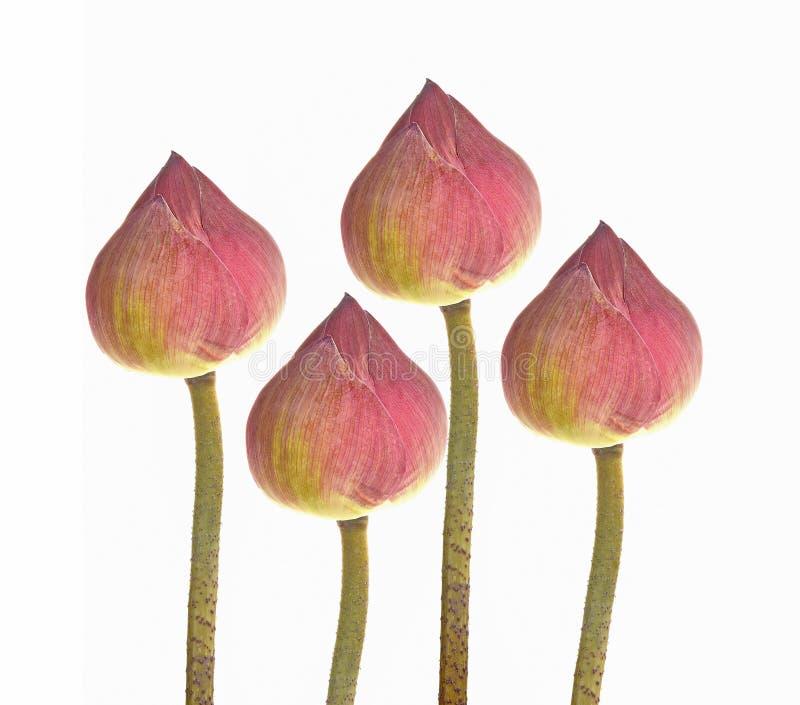Lotus-bloem isoleerde witte achtergrond stock foto's