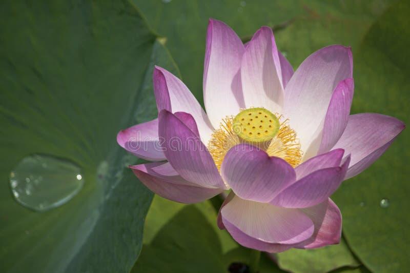 Lotus-bloem/lotusbloem/aard van het Verre Oosten van Rusland stock foto