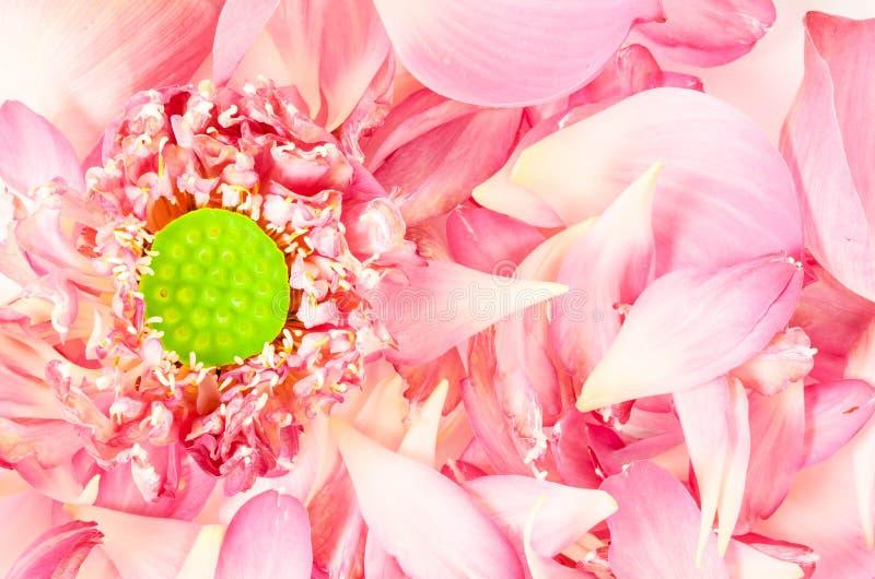 Lotus-bloem met lotusbloembloemblaadjes royalty-vrije stock foto