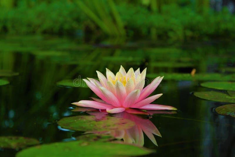 Lotus-bloem op water stock foto