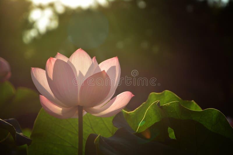 Lotus-bloem in Seoel stock afbeelding