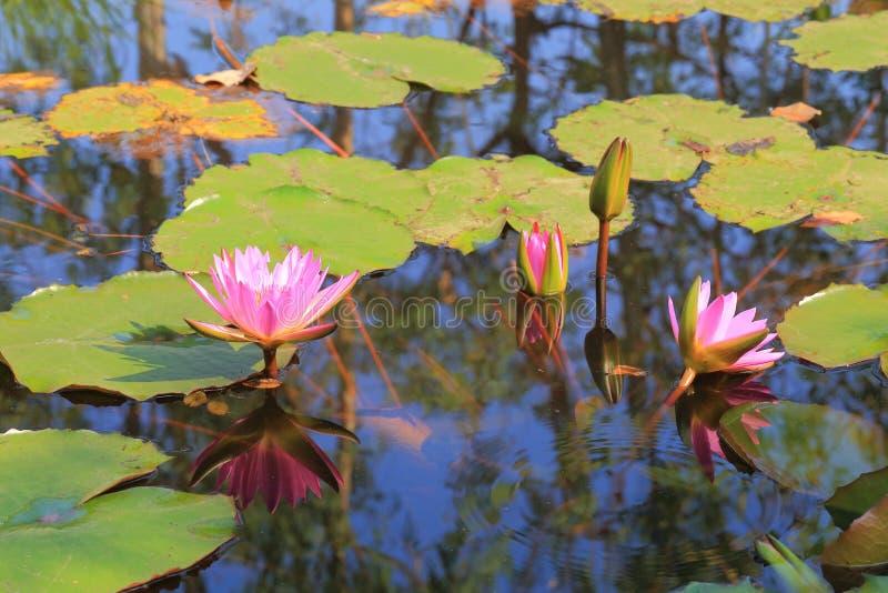 Lotus-bloem in Thailand stock afbeeldingen