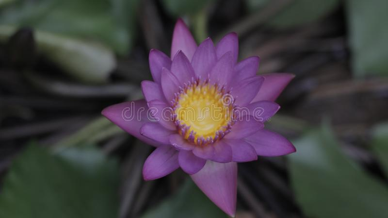 Lotus-bloem in water stock foto