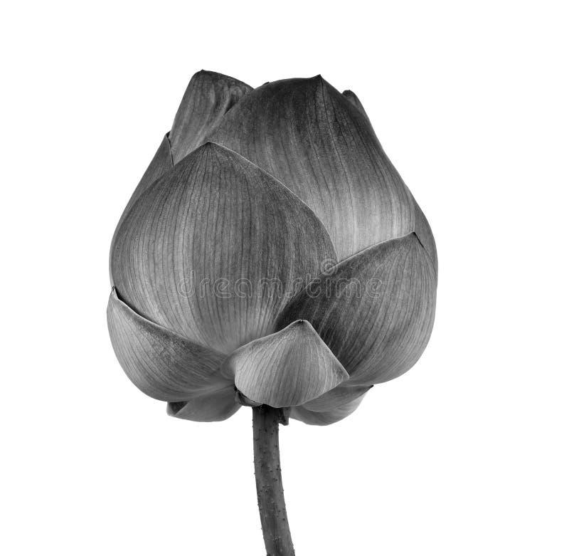 Lotus-bloem in zwart-wit geïsoleerd op witte achtergrond stock afbeelding