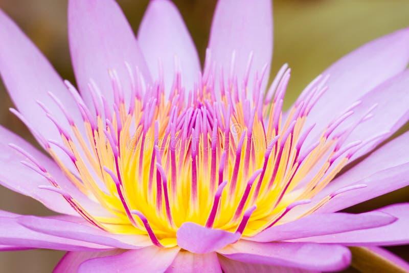 Lotus-bloembloesem royalty-vrije stock afbeelding