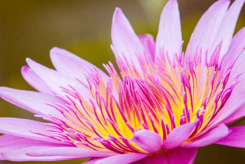 Lotus-bloembloesem royalty-vrije stock foto