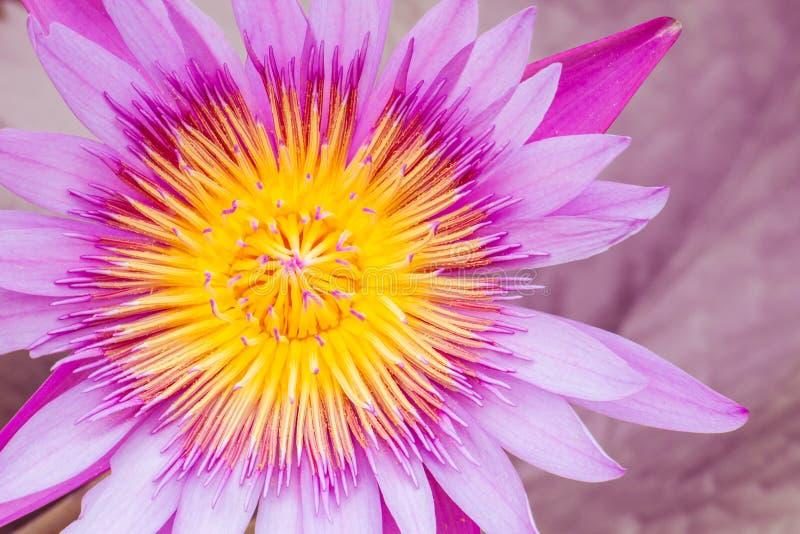 Lotus-bloembloesem stock afbeeldingen