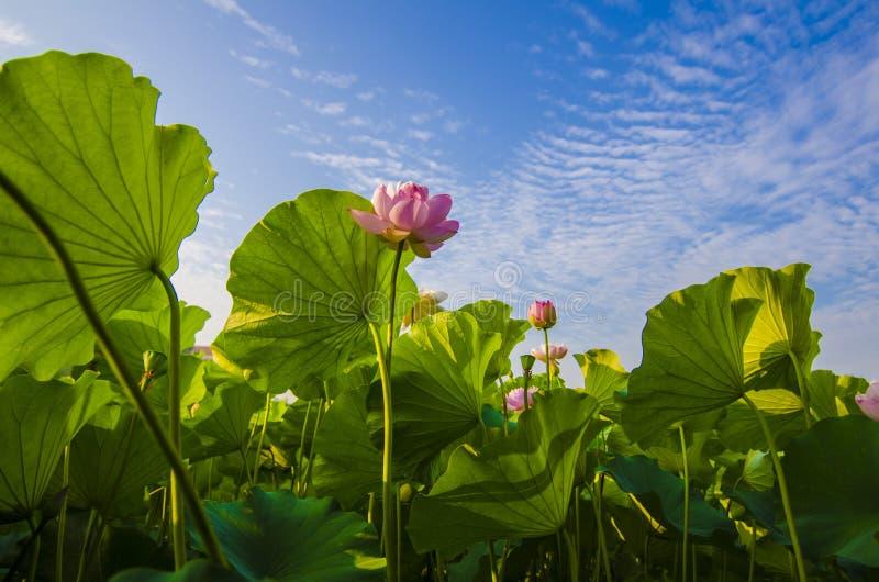 Lotus-bloemen royalty-vrije stock foto