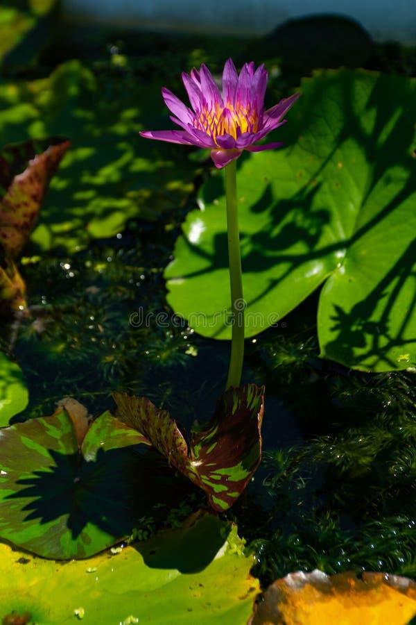 Lotus-bloemen donkere purple in pond stock foto's