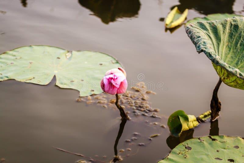 Lotus-bloemen in Hanoi, Vietnam stock afbeelding