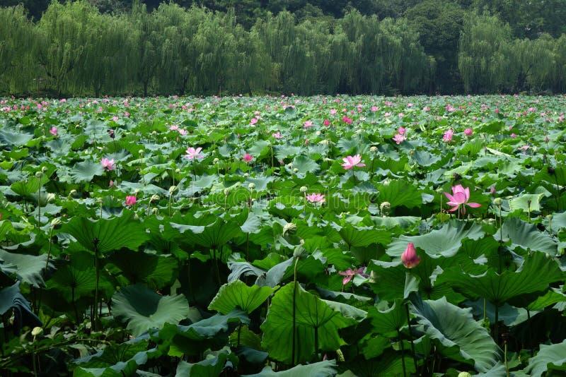 Lotus-bloemen met wilgen royalty-vrije stock foto