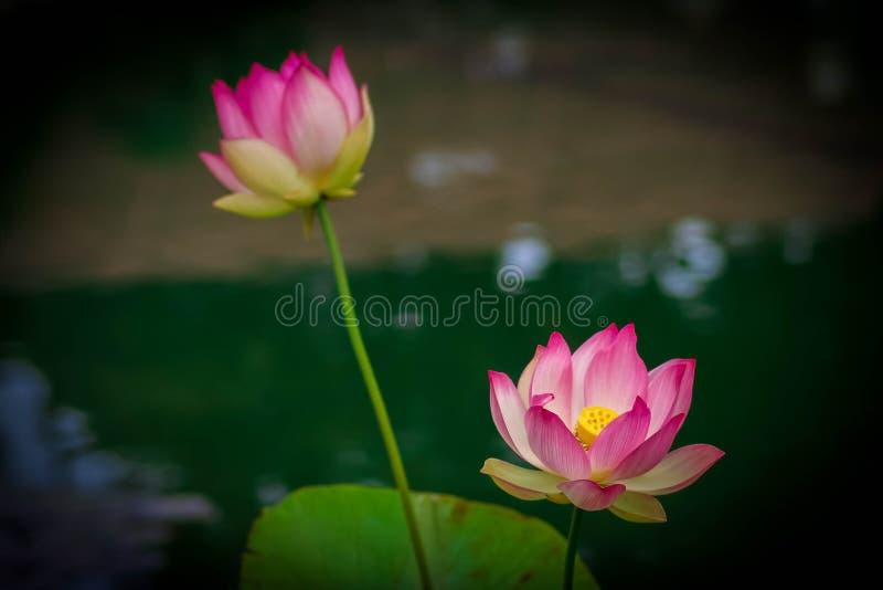 Lotus-bloemen, symboliserend de groei en nieuw begin stock foto