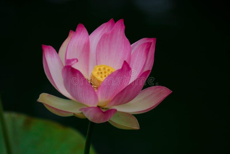 Lotus-bloemen, symboliserend de groei en nieuw begin stock afbeelding