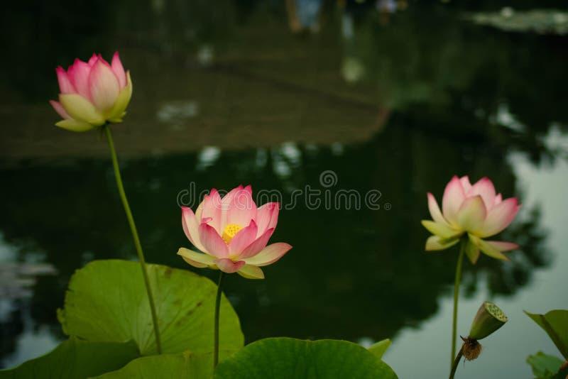 Lotus-bloemen, symboliserend de groei en nieuw begin stock foto's