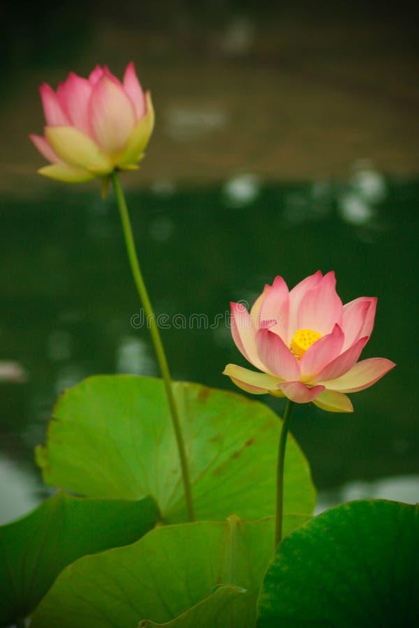 Lotus-bloemen, symboliserend de groei en nieuw begin stock afbeeldingen