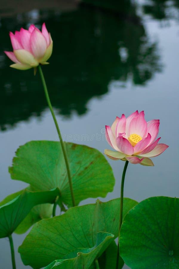 Lotus-bloemen, symboliserend de groei en nieuw begin royalty-vrije stock foto