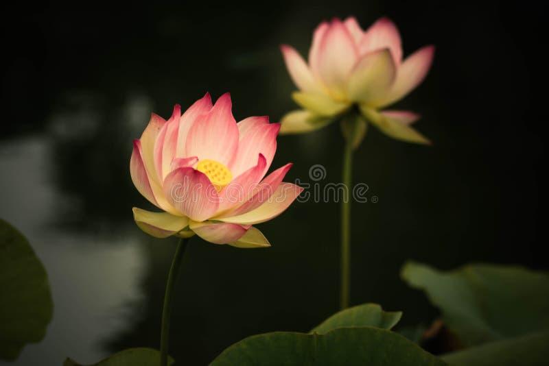 Lotus-bloemen, symboliserend de groei en nieuw begin royalty-vrije stock fotografie
