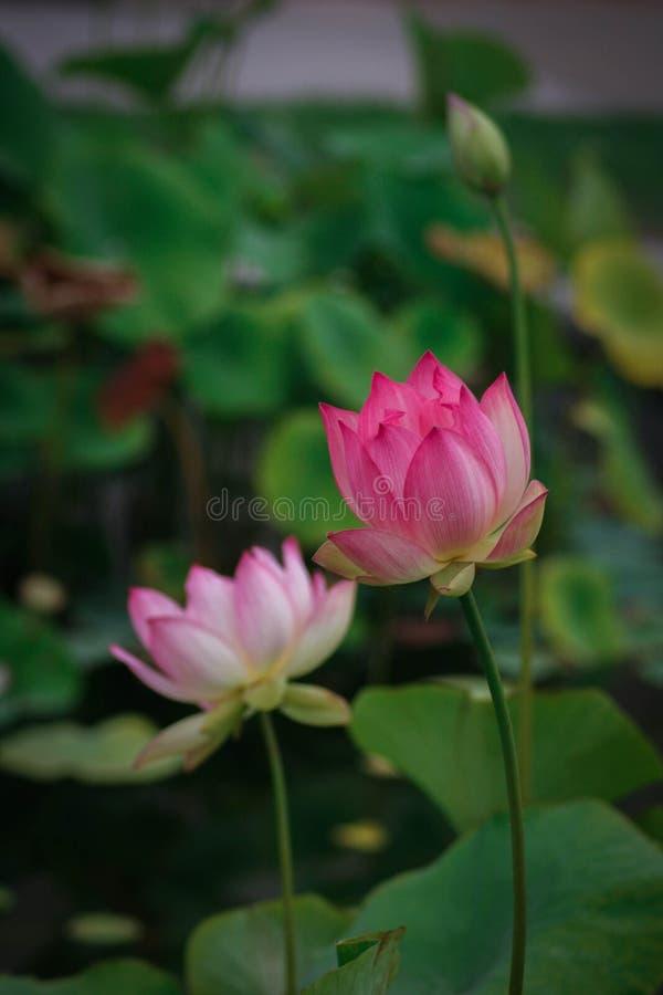 Lotus-bloemen, symboliserend de groei en nieuw begin royalty-vrije stock foto's