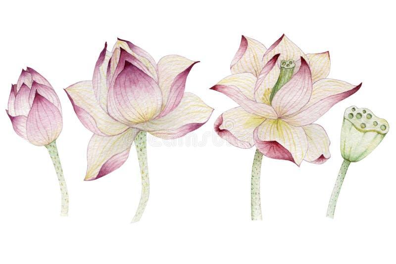 Lotus-bloemen in waterverf worden geschilderd die stock illustratie